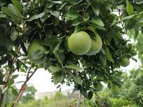有机柚子树