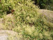 蓼科植物何首乌开满细小的花朵