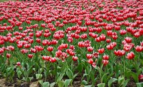 一片盛开的郁金香花丛