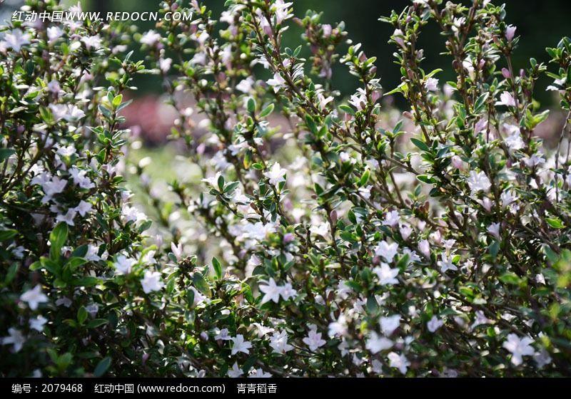 六月雪图片_六月雪图片大全大图_六月雪图片植物