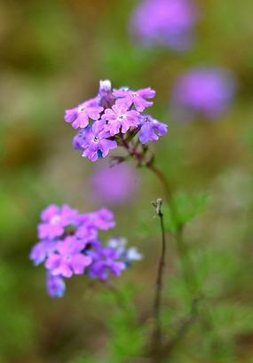 紫色的小花