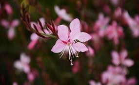 唯美娇俏的粉色山桃草