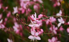 娇艳美丽的山桃草花枝