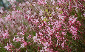 妖娆盛开的粉红山桃草