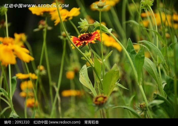 花丛中的天人菊图片