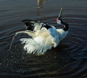 水中戏水的丹顶鹤