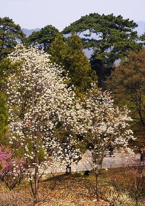 白色梅花树
