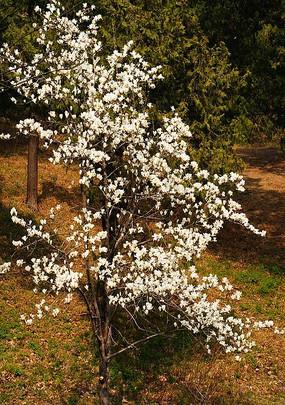 盛开的白色梅花树