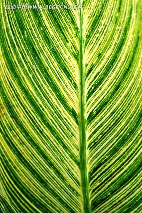 美人蕉叶子微距拍摄