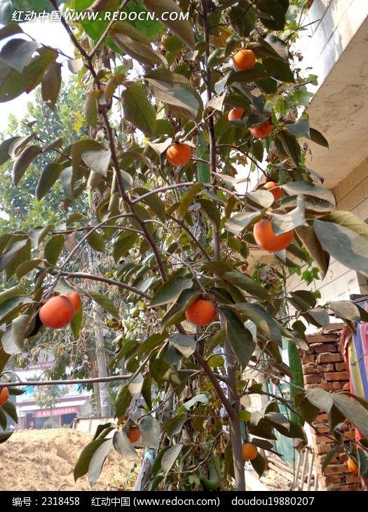 一棵柿子树