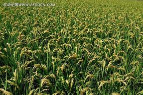 丰收的稻田