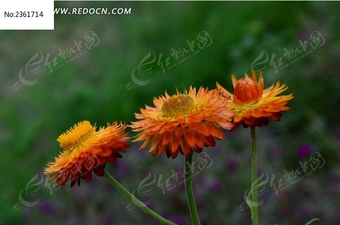 麦秆菊花束图片图片