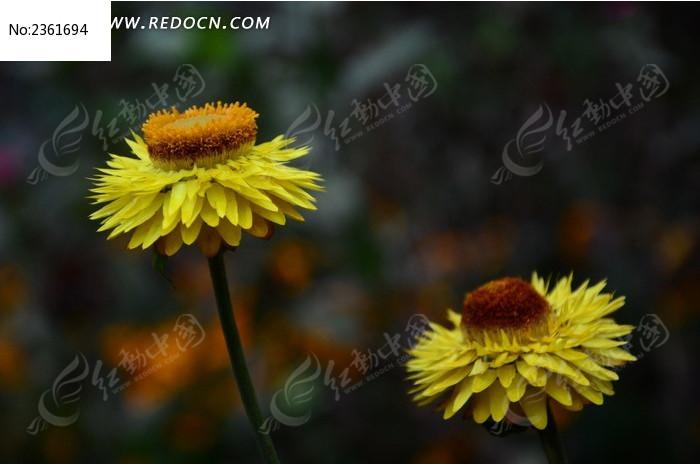 麦秆菊 蜡菊图片