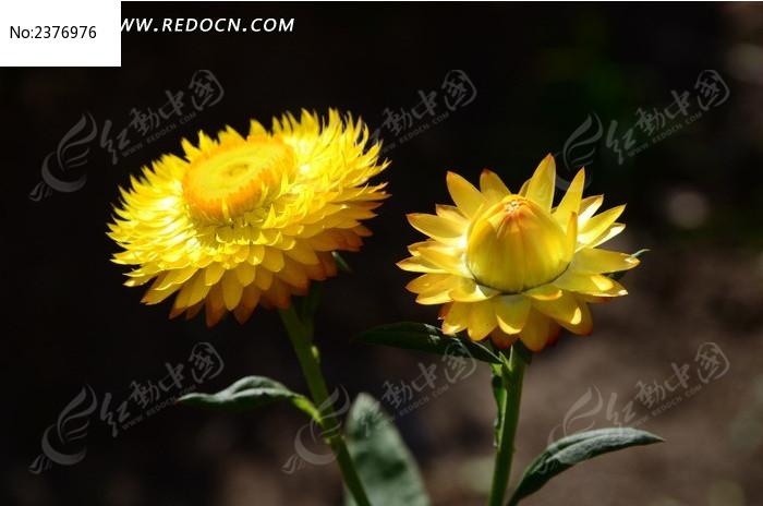 唯美有的黄色麦秆菊图片