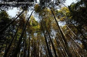 浓密的竹林