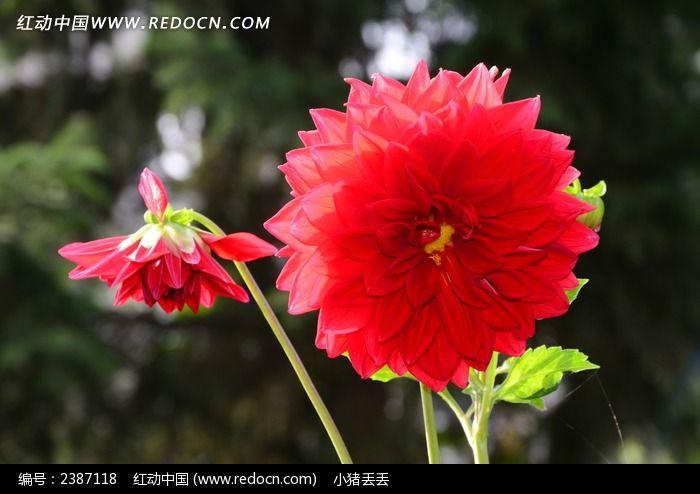 红艳欲滴的大丽花图片