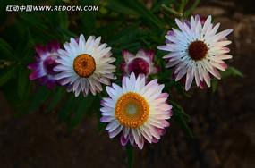 群芳吐艳的白色麦秆菊
