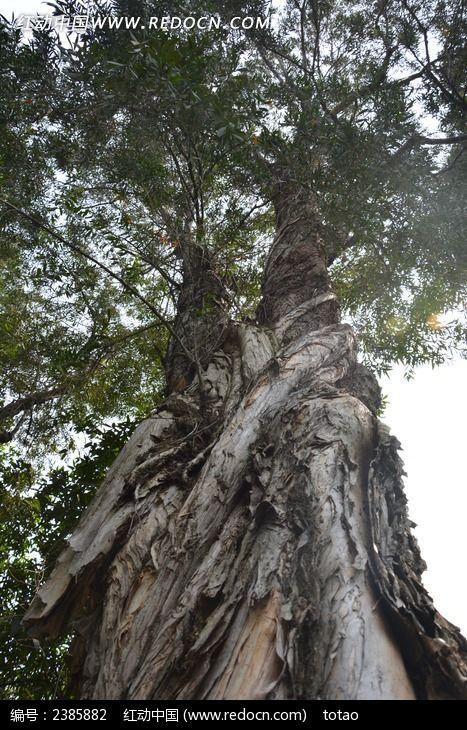 雄伟的剥皮树图片