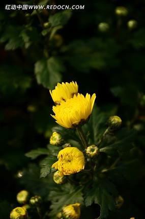 唯美小黄菊