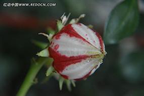 红白色的玫瑰茄