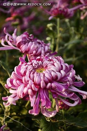 鲜艳夺目的紫菊花