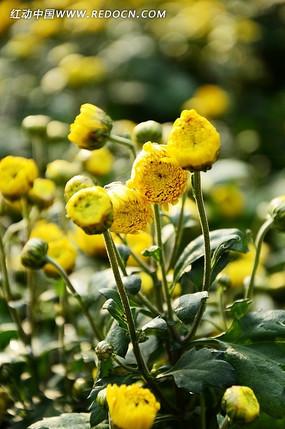 金黄鲜艳的小黄菊花苞