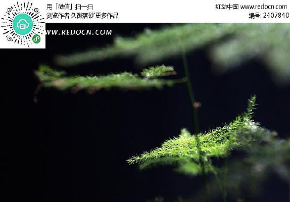 纯色背景的绿色纤细文竹
