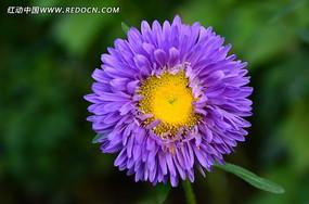 紫色的鲜艳翠菊