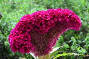 俏丽的鸡冠花