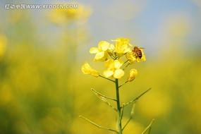 蜜蜂在油菜花上采蜜