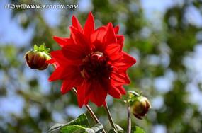 鲜红欲滴的大丽花
