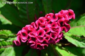 花姿俊美的鸡冠花