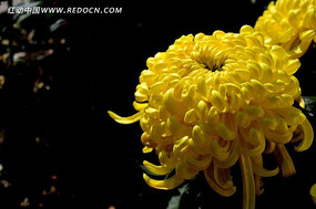 漂亮的黄色菊花