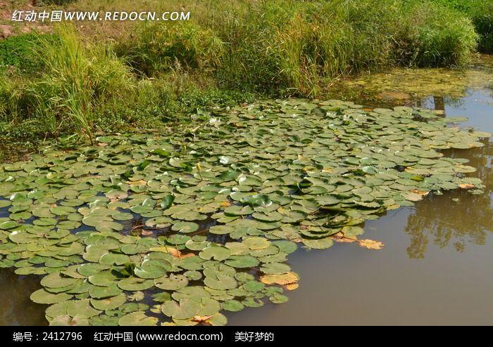 池塘里的荷花叶图片