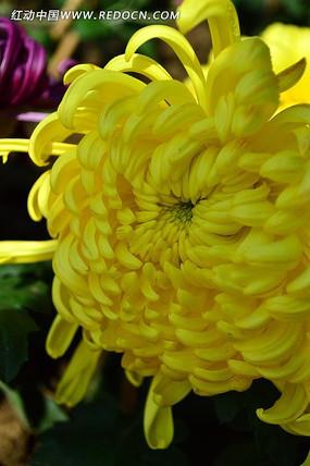 灿烂的黄菊