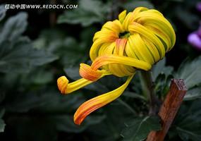 含苞待放的黄色菊花花苞