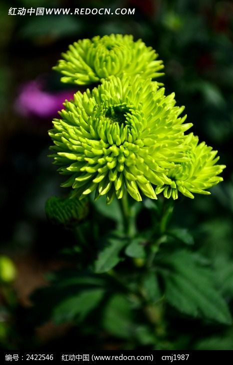盛开的绿色菊花图片