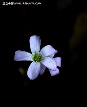 小巧可爱的紫叶酢浆草花朵