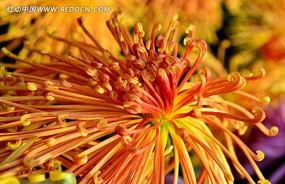 盛放的美丽礼花菊
