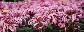 浪漫唯美紫菊花