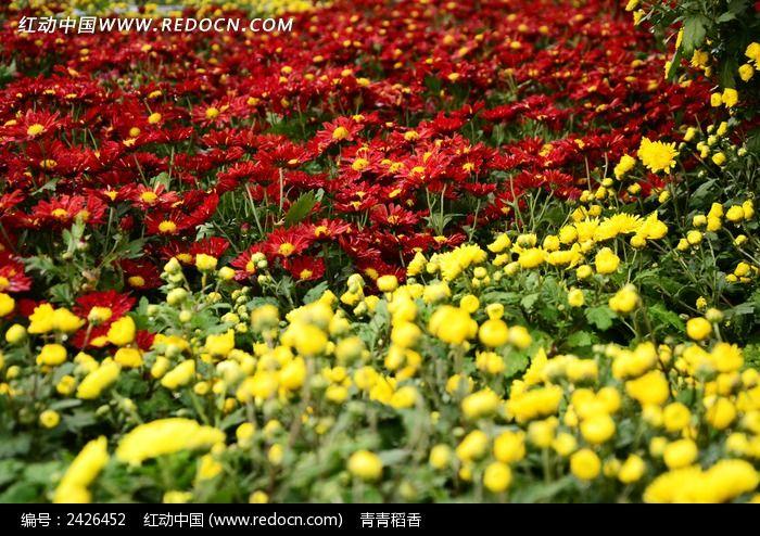 红黄相间的菊花丛图片