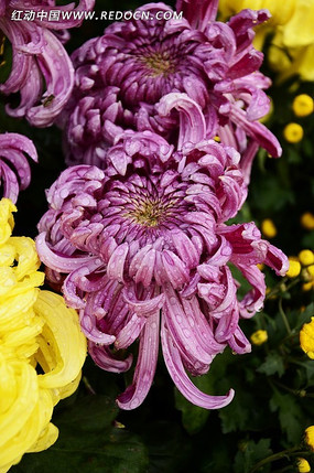 沾满雨水的紫秋菊