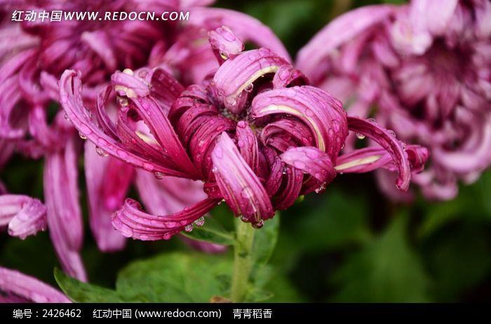 生动美丽紫菊花图片