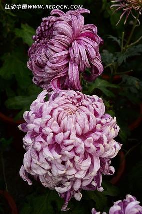 温文尔雅紫菊花