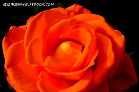 艳丽的橘红色月月红