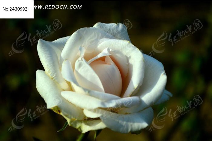 白中带粉的月季花图片