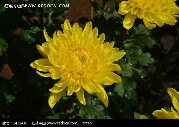 灿烂的黄菊花图片
