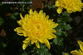 灿烂的黄菊花