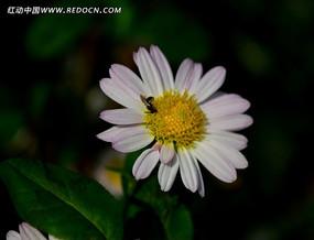 白中带粉的菊花