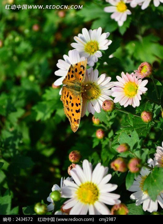 白色菊花上的黄色蝴蝶图片